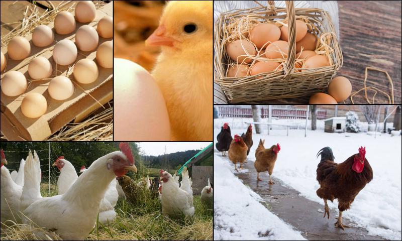 Günlük Taze Köy Yumurtalarının Özellikleri