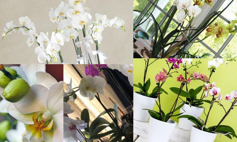 Orkide Çeşitleri ve Özellikleri Nelerdir Bakımı ve Sulanması